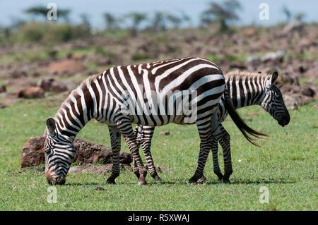 Gemeinsamen Zebra (Equus Quagga), Masai Mara, Kenia - Stockfoto