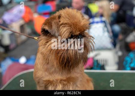 Kleine Brüsseler Griffon Hund mit seiner Zunge aus seinem Mund, an der Leine auf einer Hundeausstellung. - Stockfoto