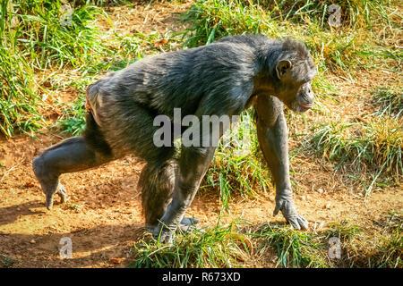 Gorilla auf der Flucht - Stockfoto