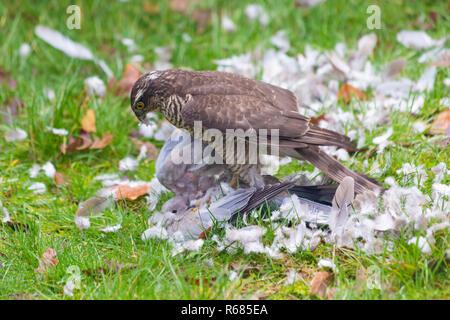 Bournemouth, Dorset, Großbritannien. 4. Dez 2018. Frau Sperber, Accipiter Nisus, Angriffe eine Taube Taube für ein Mittagessen in einem Bournemouth Garten. - Stockfoto