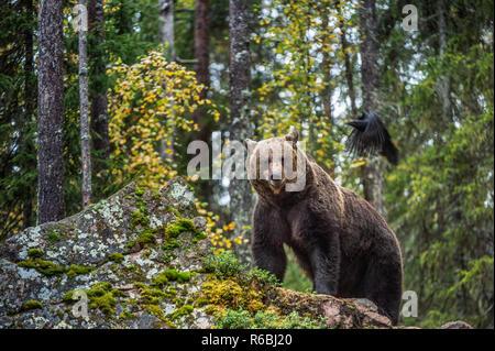 Bär und Raven. Nach grosser brauner Bär auf einem Felsen im Wald. Wissenschaftlicher Name: Ursus arctos. Herbst, natürlicher Lebensraum. - Stockfoto