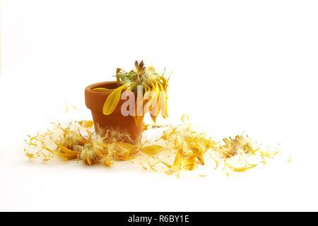 Verblasst und geduscht gelbe Blume in einem Tontopf - Stockfoto