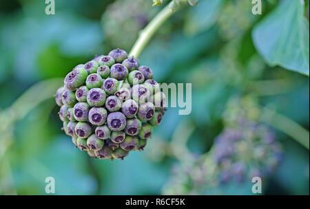 Früchte der Hedera helix, die Gemeinsame Efeu oder Europäischen Efeu, Familie Araliaceae Stockfoto