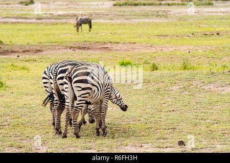 Schwanzlose zebra Kratzer auf der Rückseite einer conjenere in der Savanne von Amboseli Park in Kenia - Stockfoto