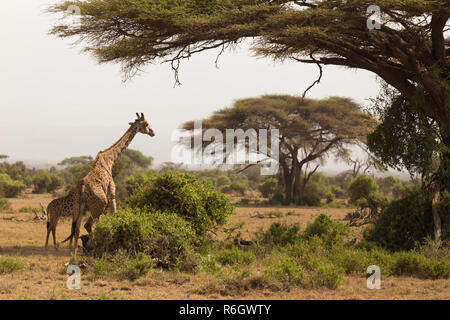 Wild giraffe im Serengeti National Park, Tansania. - Stockfoto