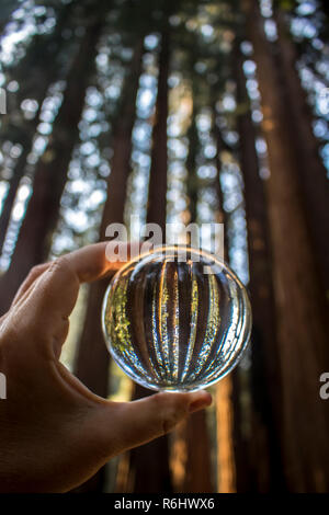 Grove der hoch aufragenden gigantischen Sequoia Redwood Bäumen Trunks in Wald in Glaskugel Reflexion in der kalifornischen Sierra Nevada erfasst - Stockfoto