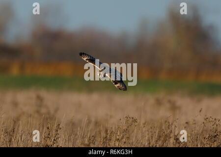 Eine Sumpfohreule Jagd in der Dämmerung - Stockfoto