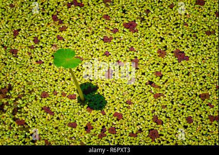 Eine neue Lotus Blatt steht über den Teich Oberfläche bedeckt mit schwebenden Wasserlinsen. - Stockfoto