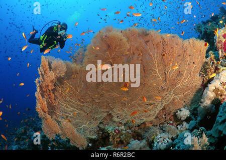 Taucher fotografieren Korallen lila Gorgonien Seafan (Gorgonia Flabellum) Rotes Meer, Ägypten, Afrika - Stockfoto
