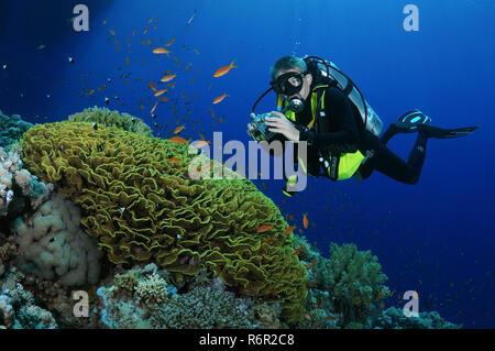 Taucher fotografieren Korallenriff, Rotes Meer, Ägypten, Afrika - Stockfoto