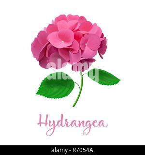 Hortensienblüten. Vektor sehr detaillierte realistische Abbildung. isoliert. Hortensia Blume. Kann als Hochzeit Element verwendet werden. - Stockfoto