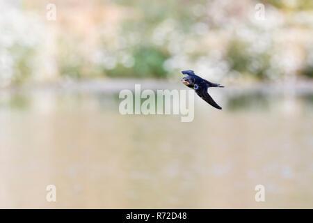 Rauchschwalbe/Rauchschwalbe (Hirundo rustica) im schnellen Flug, Jagd über Wasser, Wildnis, Europa. - Stockfoto
