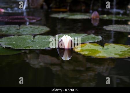 Kleiner See mit schwimmenden Blätter der Lotusblume - Stockfoto