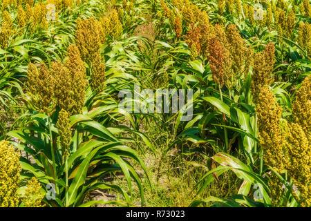 Sorghum, Common Name für Mais - wie Gräser, die in Afrika und Asien, wo sie seit der Antike kultiviert wurden. Die Hirse pflanzen Felder - Stockfoto