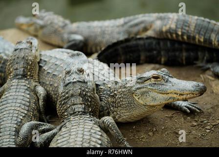 Durban, KwaZulu-Natal, Südafrika, nettes Gesicht der amerikanische Alligator, Alligator mississipiensis, überfüllten Gators in Gefangenschaft, die Farm der Tiere