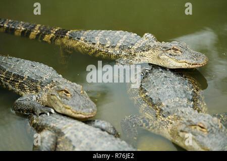 Teilweise unter Wasser in Gefangenschaft gehaltenen amerikanischen Alligatoren, Alligator mississipiensis, zusammen in der Zucht pen der Krokodilfarm, KwaZulu-Natal Unordnung