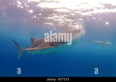 Der Walhai (Firma IPCON typus), Bohol Sea, Oslob, Cebu, Philippinen - Stockfoto