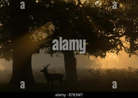 Rothirsch Cervus elaphus, Hirsch, zu Fuß durch die Wälder bei Sonnenaufgang zerstreut, Bushy Park, London, England, Großbritannien, Oktober - Stockfoto