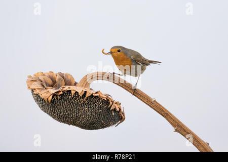Europäische Robin mit Wurm im Schnabel über Sonnenblume (Erithacus Rubecula), Italien - Stockfoto