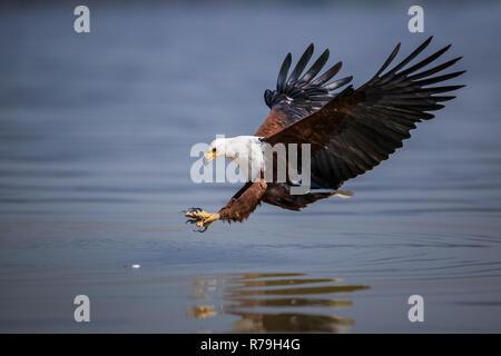 African Fish Eagle (haliaeetus vocifer) im Flug am Lake Naivasha, Kenia - Stockfoto