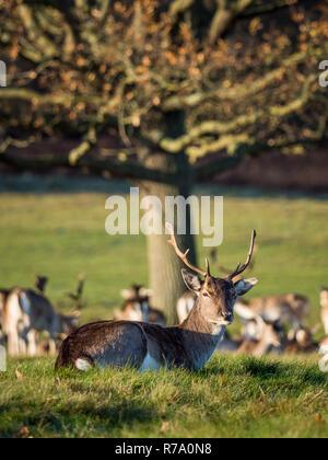 Einen männlichen Damwild (STAG) im Londoner Richmond Park am 26. November 2017 gesehen. - Stockfoto