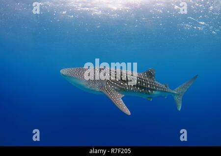 Der Walhai (Firma IPCON typus), Bohol, Cebu, Philippinen - Stockfoto