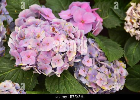 Die Violette Hortensie Blumen auf den Hinterhof - Stockfoto