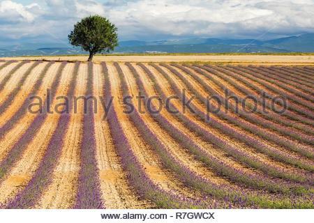 Junge Lavendelfeld in der Provence, Frankreich - Stockfoto