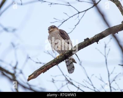 Eurasischen Sperber (Accipiter nisus). Russland. - Stockfoto