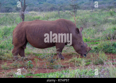 Weißes Nashorn Rhinocerotidae) im Profil de-gehörnten und Beweidung unter Buschland in Zimanga Private Game Reserve, Südafrika - Stockfoto
