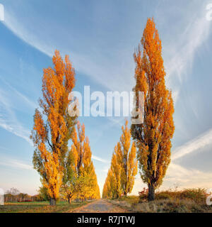 Pappel Baum im Herbst - Stockfoto