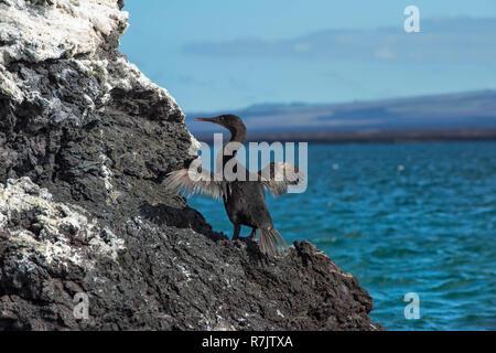 Flugunfähigen Kormoran (Phalacrocorax harrisi), Elisabeth Bucht, Insel Isabela, Galapagos, Ecuador - Stockfoto