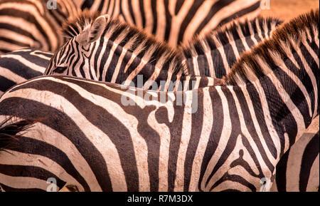 Close up Portrait von einem Zebra in Herden von Zebras mit Muster aus schwarzen und weißen Streifen. Wildlife Szene aus der Natur in der Savanne, Afrika. Safari in der Na - Stockfoto