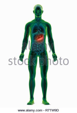 Computer-generierte biomedizinischen Abbildung des menschlichen Körpers Hervorhebung der Magen - Stockfoto