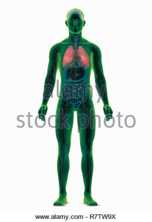 Computer-generierte biomedizinischen Abbildung des menschlichen Körpers Hervorhebung der Lunge - Stockfoto