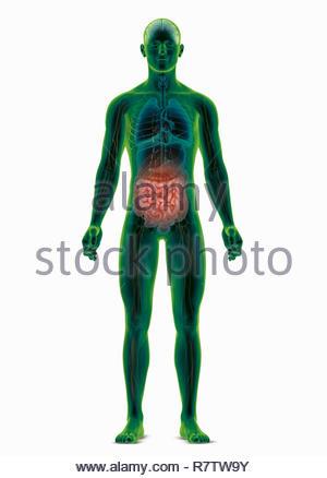 Computer-generierte biomedizinischen Abbildung des menschlichen Körpers Hervorhebung der Darm - Stockfoto