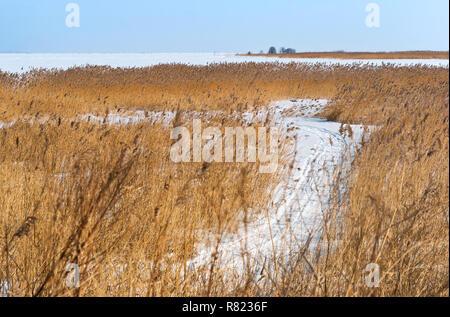 Schilf am Ufer des Stausees, der Pfad im Schnee unter den hohen Gras - Stockfoto