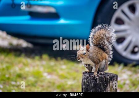 Eines Portraitfotos eines süßen braunen Eichhörnchen in Cape Coral, Florida - Stockfoto