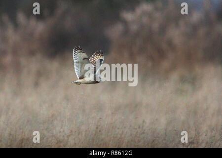 Pevensey Ebenen, UK. 13. Dez 2018. UK Wetter. Eine kurze eared owl Scans für Lebensmittel über die Pevensey Ebenen heute Abend nach einem kalten Tag in East Sussex, UK. Credit: Ed Brown/Alamy leben Nachrichten - Stockfoto