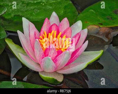 Schließen Sie sich einer Lotusblüte - Stockfoto