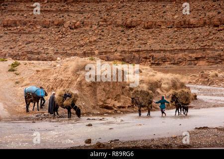 Marokko Todra-schlucht Tinghir, Pack, Pferde verwässert werden in Todra Fluss - Stockfoto