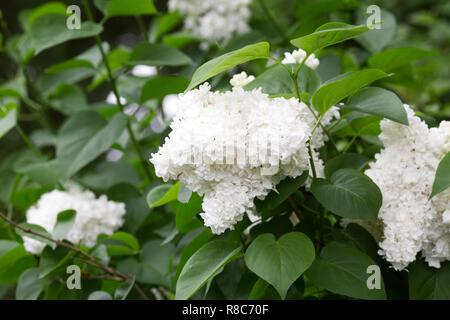 Syringa vulgaris 'Madame Lemoine' Blumen. - Stockfoto