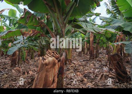 Bananenanbau auf Teneriffa, Kanarische Inseln Winter - Stockfoto