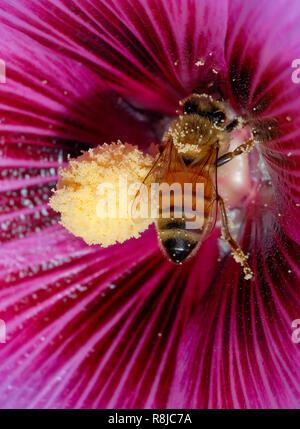 Bienen bestäuben lila Blume - Stockfoto