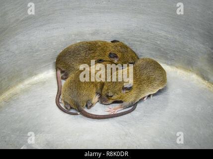 Baby Ratte Falle/Gruppe von drei baby Fell braune Ratte trap in Schaufel Aluminium bin-Ratte wild Rattus norvegicus - Stockfoto