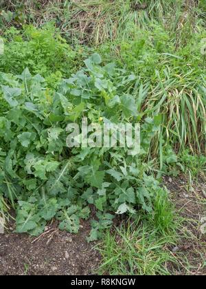 Blühende Muster/Sonchus oleraceus Sow-Thistle Glatt, die Blätter sind essbar und werden als hat Essen verwendet. Zu Salat. - Stockfoto