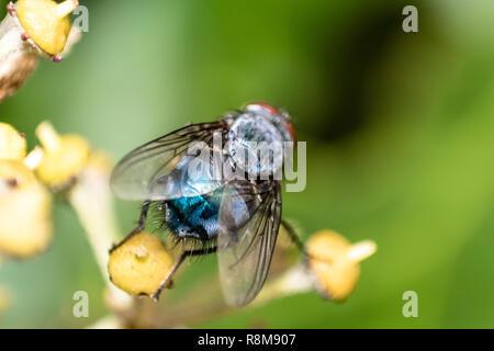 Detaillierte, Makro Ansicht des Hauses Fliegen/ Insekten auf der gelben Pflanze - Stockfoto