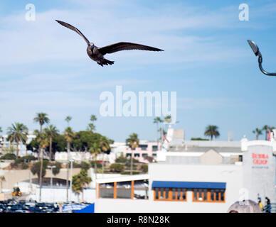 Venice, Kalifornien. 16 Dez, 2018. Dezember 16, 2018: Ein osprey Fliegen über Santa Monica Pier. Santa Monica, CA, USA, Kredit: Brent Clark/Alamy leben Nachrichten - Stockfoto