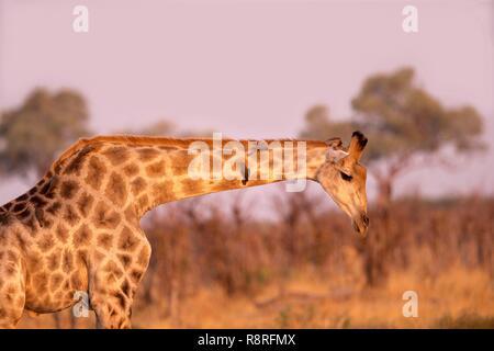 Botswana, Savuti Nationalpark, Northern Giraffe (Giraffa Camelopardalis), Erwachsene - Stockfoto