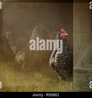 Komposit eines Plymouth Rock Henne blickt von einem Hühnerstall - Stockfoto